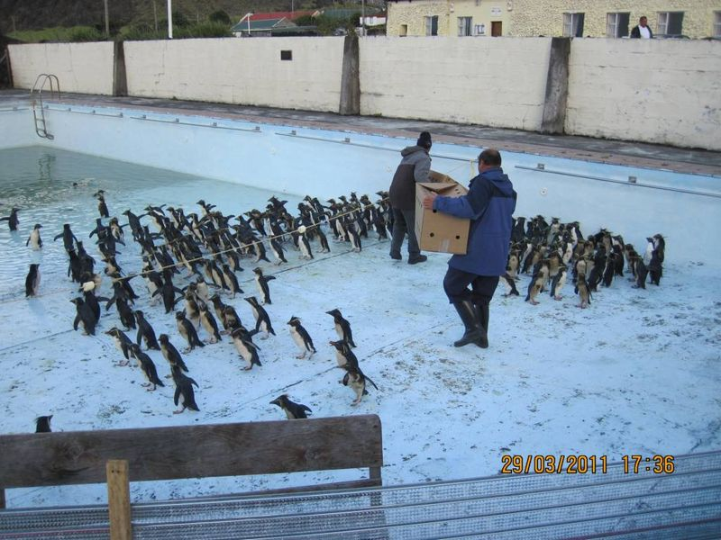 Penguins_in_pool